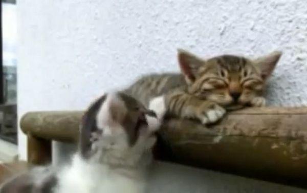 El gato trata de despertar adorablemente al amigo del gatito