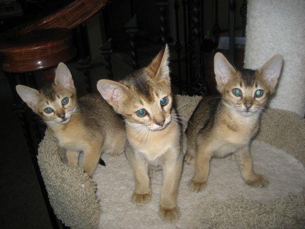 Raza del gato del día: el chausie