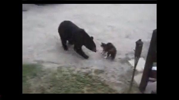 Cat protege su casa y su familia de un oso salvaje