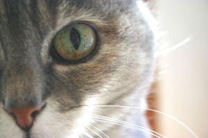 Problemas comunes de los ojos en los gatos