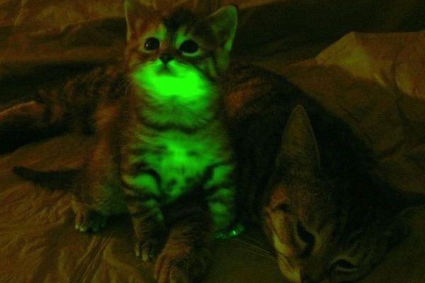 ¿Sabías que los científicos han creado brillo en los gatos oscuros?