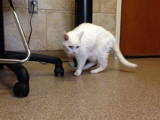 Cuidado médico de emergencia para gatos al alcance de su mano