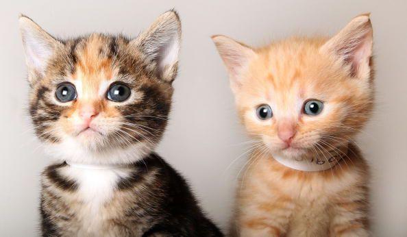 Cinco mitos sobre gatitos no deberías creer