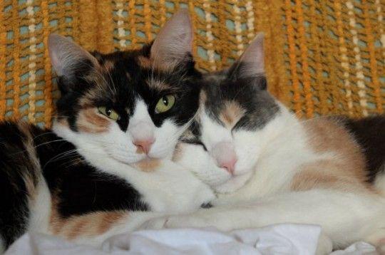Cinco razones por las cuales dos gatos pueden ser mejores que uno