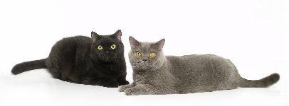 Fotografía de gato de Helmi Flick - sus Shorthairs británicos