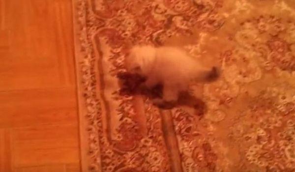 Gatito está aterrado de la alfombra y es gracioso