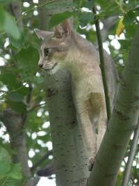 Gato abisinio - imágenes de gatos