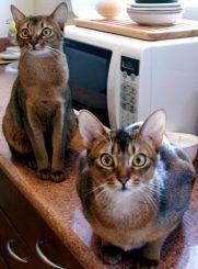 Gatos abisinios - fotos de gatos