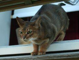 Gato abisinio en una ventana