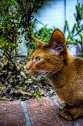 Imagen del gato abisinio
