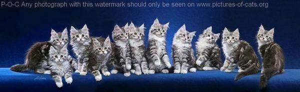 compuesto de gatos Coon de Maine