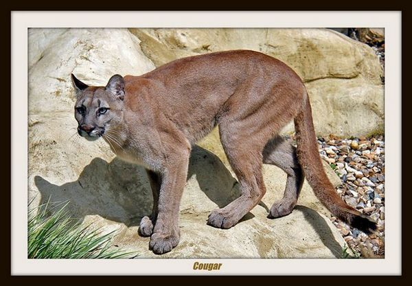 Puma (puma)