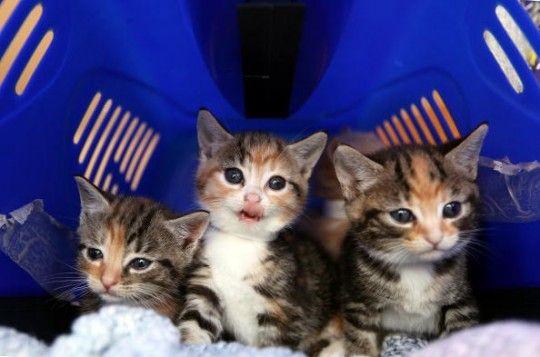 Los videos de gato munchkin más lindos de 2014