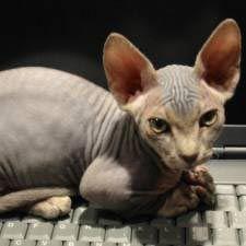 El puntal diario: el gato favorito de lady gaga, manx, alfa, oriental, celebridades y un gatito bailando!