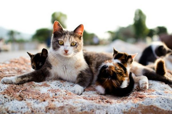 Consejos sobre cómo cuidar adecuadamente las orejas de su gato
