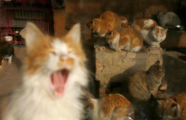 Consejos para comprender los sonidos que hacen los gatos