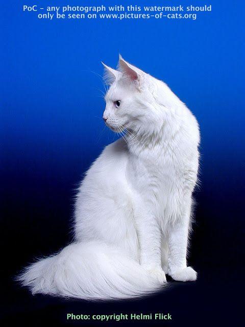 gato blanco Maine Coon