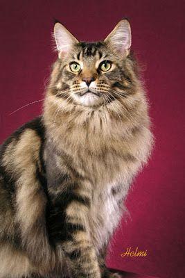 Marrón clásico tabby Maine Coon cat